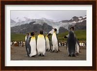 King penguins, Gold Harbor, South Georgia Fine Art Print