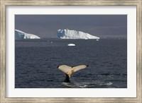 Humpback whale, Western Antarctic Peninsula Fine Art Print