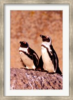Jackass Penguins, Simons Town, South Africa Fine Art Print