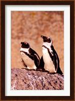 Jackass Penguins, Simons Town, South Africa Fine Art Print