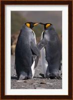 King penguins, mating ritual Fine Art Print