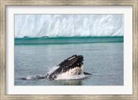 Humpback whale, Antarctic Fine Art Print
