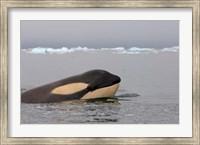 Killer whale, Western Antarctic Peninsula Fine Art Print