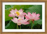 Lotus flower, Nelumbo nucifera, China Fine Art Print