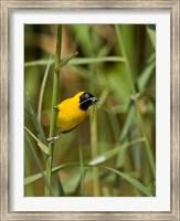 Lesser Masked Weaver bird, Mkuze GR, South Africa Fine Art Print