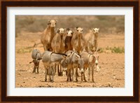 Mauritania, Adrar, Camels and donkeys going to the well Fine Art Print