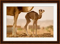 Mauritania, Guelb Jmel, Little dromedary at the well Fine Art Print