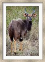 Male Nyala, Zulu Nyala Game Reserve, Kwazulu Natal, South Africa Fine Art Print