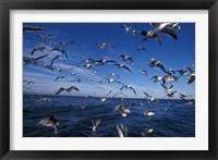 Kelp Gulls, South Africa Fine Art Print