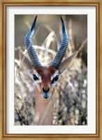 Male Gerenuki with Large Eyes and Curved Horns, Kenya Fine Art Print