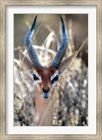 Male Gerenuki with Large Eyes and Curved Horns, Kenya Fine Art Print