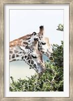 Maasai Giraffe, Maasai Mara Game Reserve, Kenya Fine Art Print