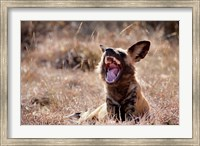 Namibia, Harnas Wildlife, African wild dog wildlife Fine Art Print