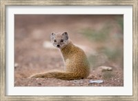 Namibia, Keetmanshoop, Yellow Mongoose wildlife Fine Art Print