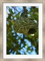 Southern masked weaver nest, Etosha NP, Namibia, Africa. Fine Art Print