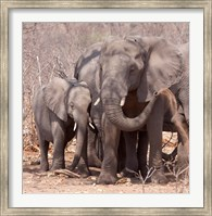 Mother and baby elephant preparing for a dust bath, Chobe National Park, Botswana Fine Art Print