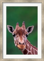 Reticulated Giraffe, Impala Ranch, Kenya Fine Art Print
