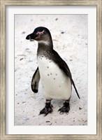 African Penguin Fine Art Print