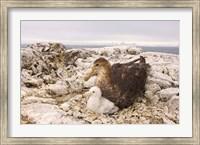 Southern giant petrel nest, Antarctic Peninsula Fine Art Print