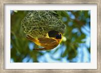 Southern Masked Weaver at nest, Etosha National Park, Namibia Fine Art Print