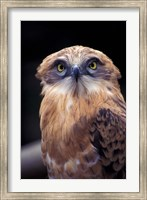South Africa. Spotted Eagle Owl (Bubo africanus) Fine Art Print