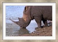 South Africa, KwaZulu Natal, Zulu Nyala, White Rhino Fine Art Print