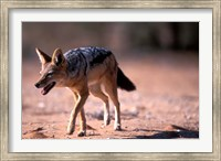 South Africa, Kgalagadi, Kalahari, Black Backed Jackal Fine Art Print