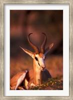South Africa, Springbok wildlife, Kalahari Desert Fine Art Print