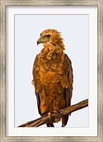 Tawny Eagle on branch above the Maasai Mara Kenya Fine Art Print