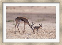 Springbok Mother Helps Newborn, Kalahari Gemsbok National Park, South Africa Fine Art Print