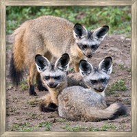 Three Bat-Eared Foxes, Tanzania Fine Art Print