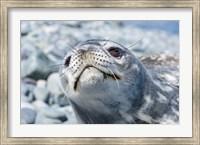 Weddell Seal Resting, Western Antarctic Peninsula, Antarctica Fine Art Print