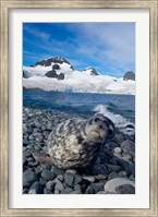 Weddell seal, beach, Western Antarctic Peninsula Fine Art Print