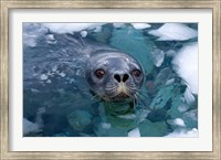 Weddell seal in the water, Western Antarctic Peninsula Fine Art Print