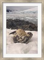 Weddell seal resting, western Antarctic Peninsula Fine Art Print