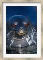 Close up of Weddell seal, Western Antarctic Peninsula Fine Art Print