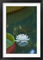 Water lily flowers, Mauritius Fine Art Print