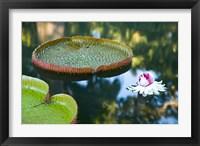 Victoria amazonica water lily flower, Mauritius Fine Art Print