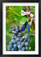 Vineyard operated by Dynasty winery near Jixian, Tianjin province, China Fine Art Print