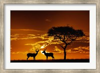 Umbrella Thorn Acacia and Impala, Masai Mara Game Reserve, Kenya Fine Art Print