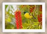 Variable Sunbird, Aberdare Country Club, Nyeri, Kenya Fine Art Print