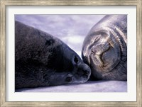 Weddell Fur Seal Cow and Pup, Antarctica Fine Art Print