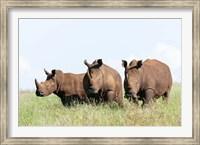 White rhinoceros, Kenya Fine Art Print