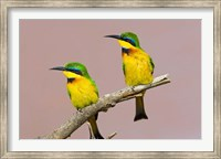 Two little bee-eater birds on limb, Kenya Fine Art Print