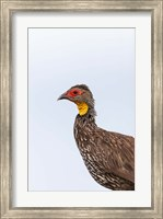 Yellow-necked Spurfowl, Lewa, Kenya Fine Art Print