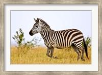 Zebras Herding in The Fields, Maasai Mara, Kenya Fine Art Print
