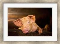 Pig Farm, Bali, Indonesia Fine Art Print