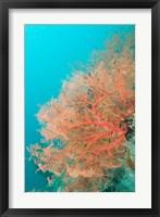 Sea Fan, Raja Ampat region, Papua, Indonesia Fine Art Print