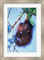 Baby Orangutan, Tanjung Putting National Park, Indonesia Fine Art Print
