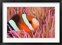 Anemonefish, Scuba Diving, Tukang Besi, Indonesia Fine Art Print
